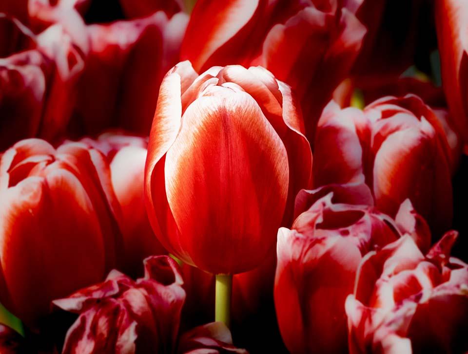 Tulip ดอกทิวลิป สีแดง Beaconboy Travel
